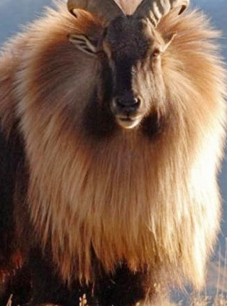 NO, NOT A LIOIN WITH HORNS: This is a male Hima;ayan thar, some of which used to roam the Cape Peninsula's mountain sp;ine.but today exists as a model in the Mahindra 4x4 stable. iMAE: wILIPEDIA